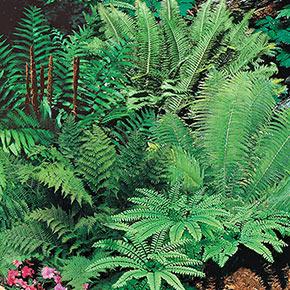 Mixed Hardy Ferns