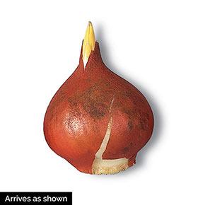 Mixed Long-Stemmed Perennial Tulip Super Bag