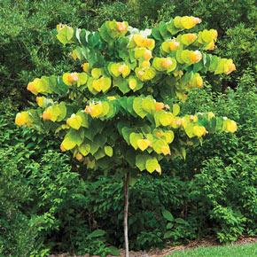 The Rising Sun™ Redbud Tree
