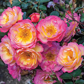 Watercolors Home Run<sup>®</sup> Shrub Rose