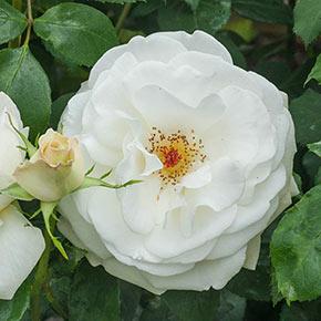 Sugar Moon™ Hybrid Tea Rose