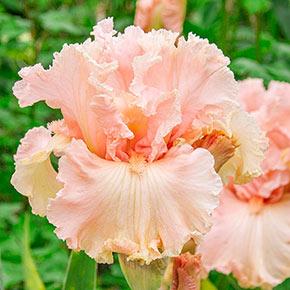 In Love Again Reblooming Iris