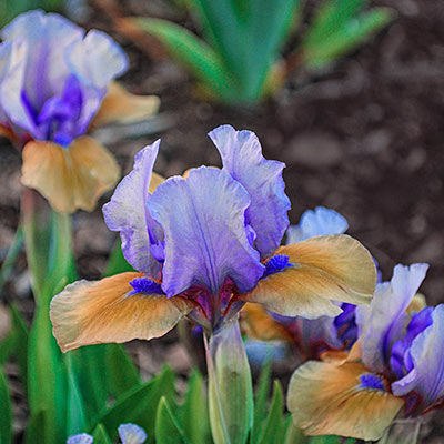 Blueberry Tart Reblooming Dwarf German Iris
