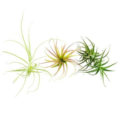 Deluxe Tillandsia Collection