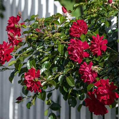 Spring Hill's Red Freedom Rose