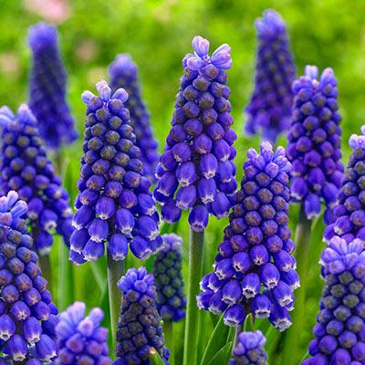 Blue Magic Grape Hyacinth Shop Bulbs Spring Hill