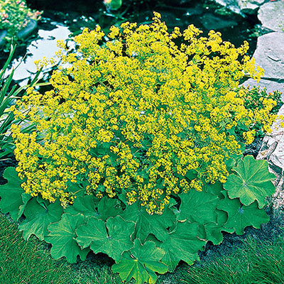 Thriller Lady's Mantle