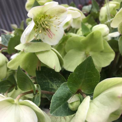 Molly's White Hellebore