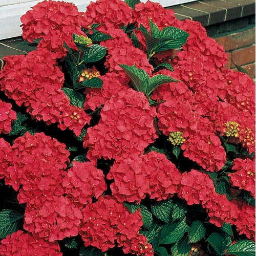 royal red hydrangea hydrangea plants. Black Bedroom Furniture Sets. Home Design Ideas