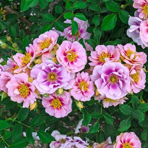 Roses Easy On The Eyes Shrub Rose