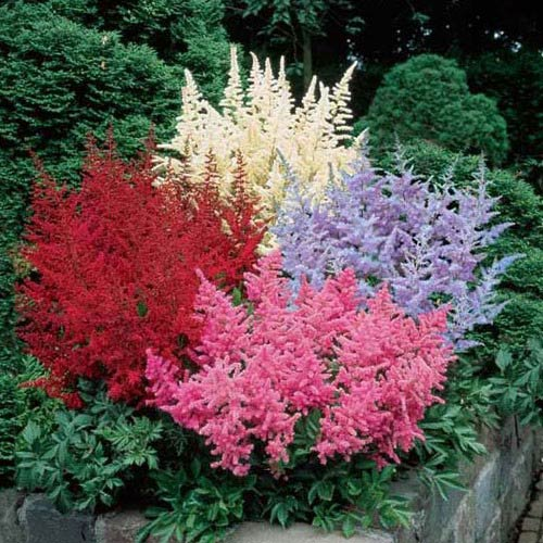Previously Offered Shade Plants Astilbe Bargain Bag