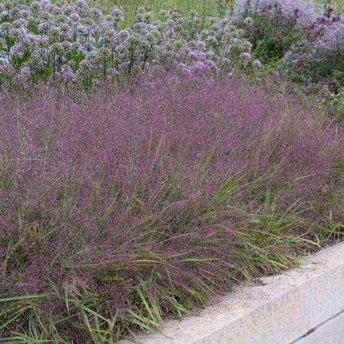 Purple love grass for Purple grasses for landscaping