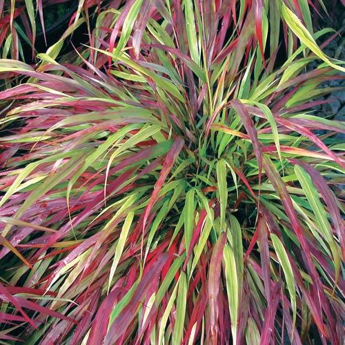 Grasses beni kaze japanese forest grass for Japanese grass