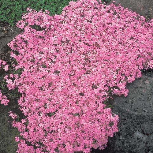 Moerheim beauty carpet phlox easy ground cover perennials for Perennial ground cover plants for sun
