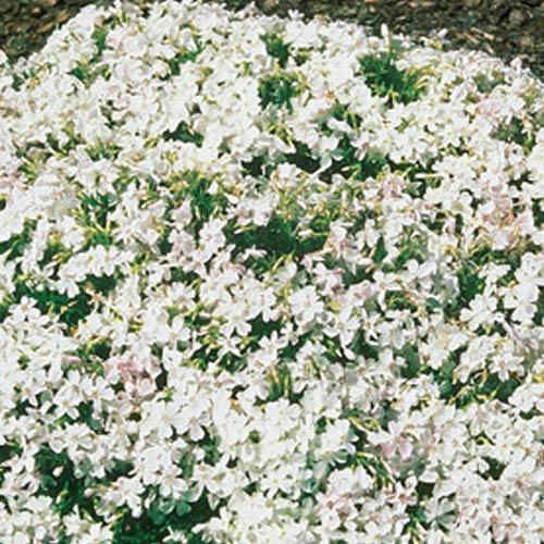 White delight carpet phlox for Perennial ground cover plants for sun
