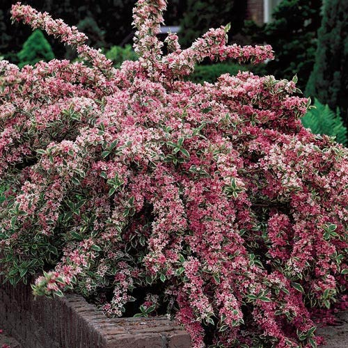Variegated Weigela Plant - 97.0KB