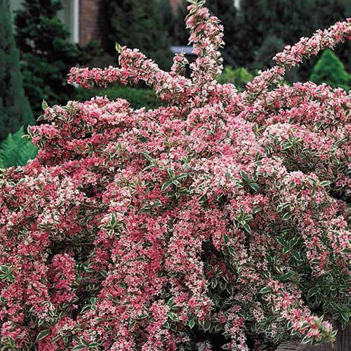 Buy Pink Splash Variegated Weigela - 106.6KB