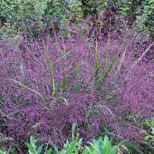 Buy purple love grass at spring hill nursery for Purple grass