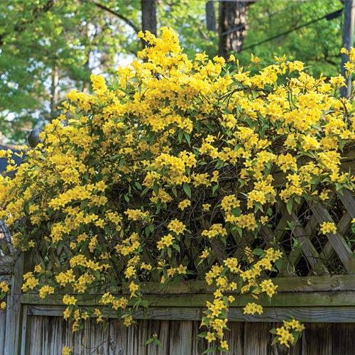 Hardy Carolina Jessamine Plant