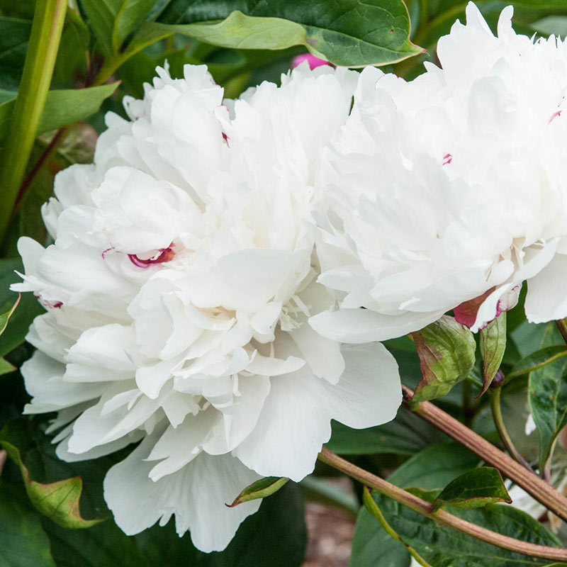 Parfum de Bloom<sup>™</sup> Festiva Maxima Peony