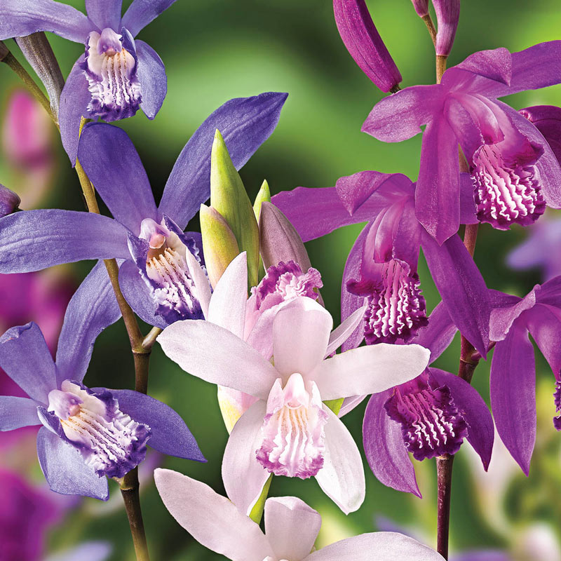 Mixed Hardy Ground Orchids