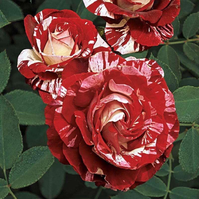 Rock & Roll™ Grandiflora Rose