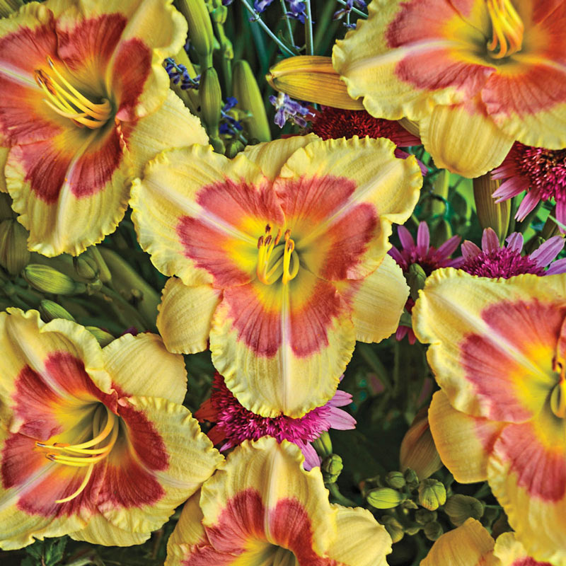 When My Sweetheart Returns Daylily