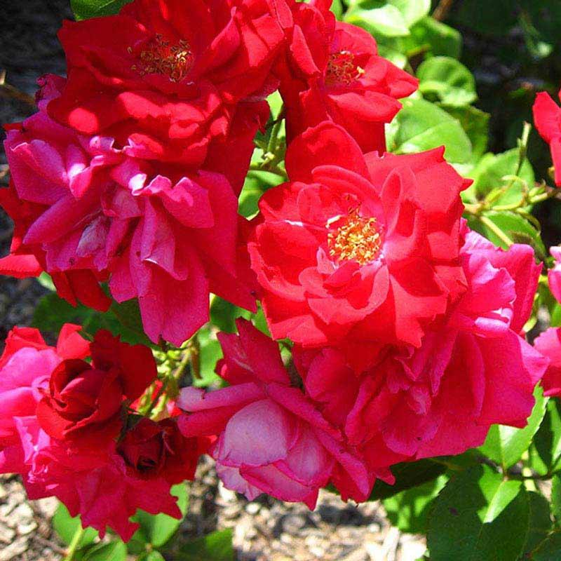 Winnepeg Parks Shrub Rose