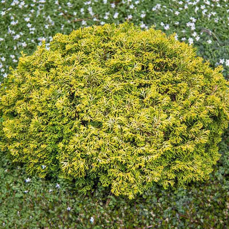 Butter Ball Hinoki False Cypress