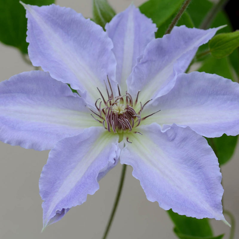 Clematis Tranquilite<sup>™</sup>