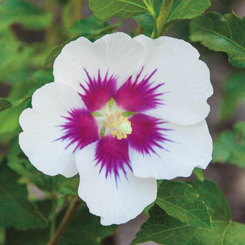 Red Heart Hardy Hibiscus Standard