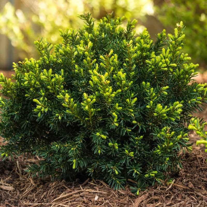 Yew Dark Green Spreader Hedge
