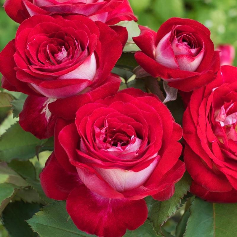 Love at First Sight Hybrid Tea Rose