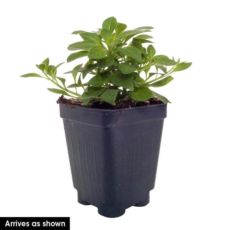 Vista Silverberry Supertunia<sup>®</sup> PW