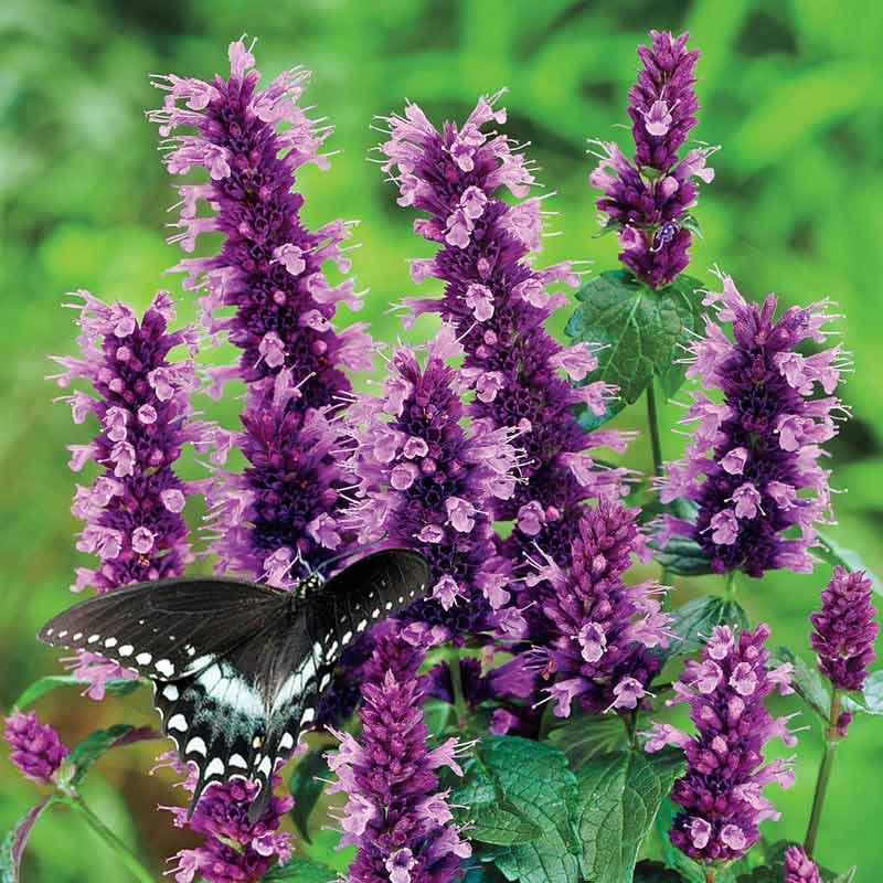 Black Adder Hummingbird Mint