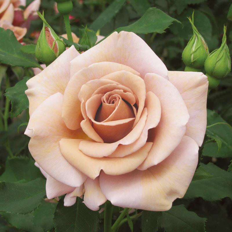 Koko Loko<sup>™</sup> Floribunda Rose