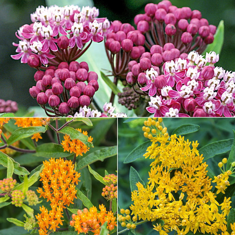 Native Milkweed Selections