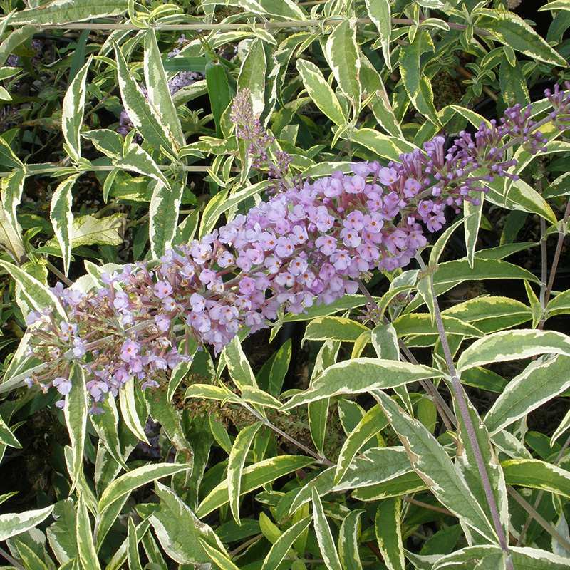 Summer Skies<sup>™</sup> Butterfly Bush