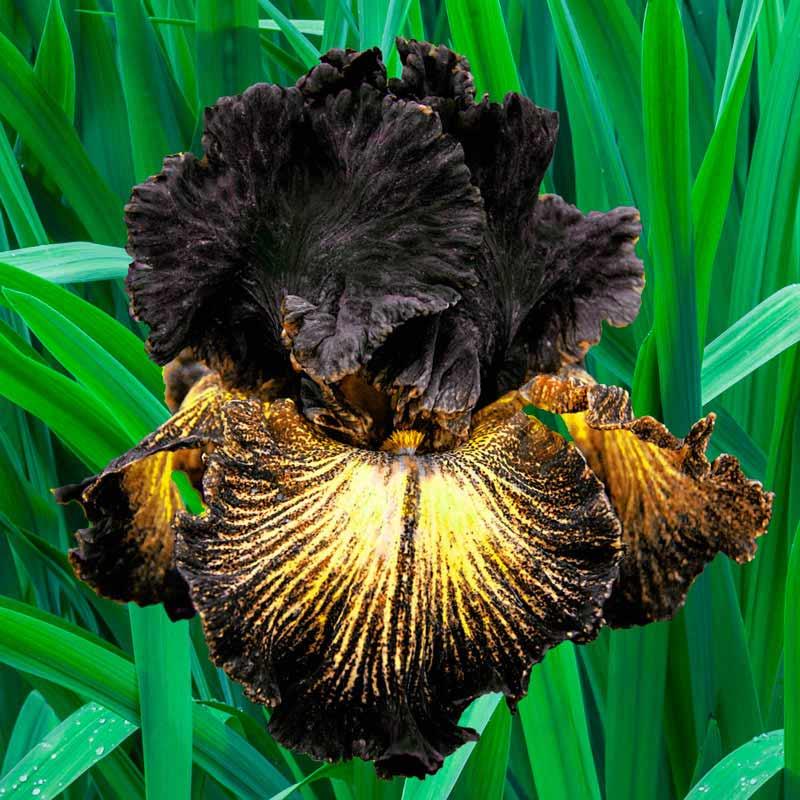 Sorbonne Bearded Iris