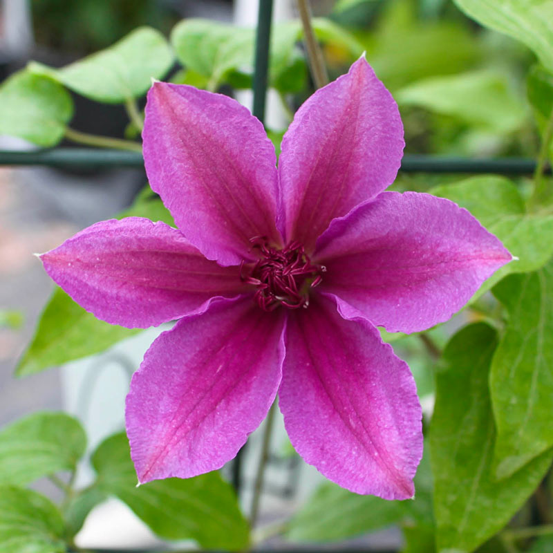 Clematis Success<sup>®</sup> Candy