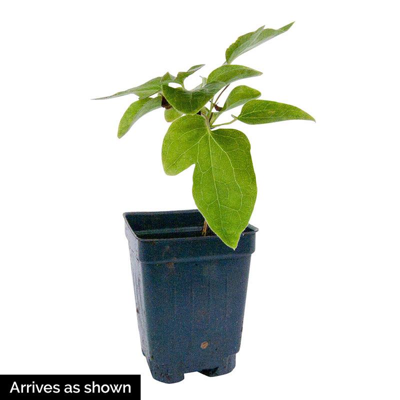 Clematis Amaranthine
