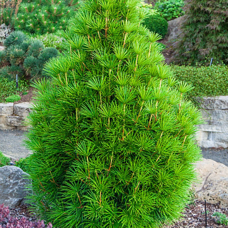 Japanese Umbrella Pine Tree