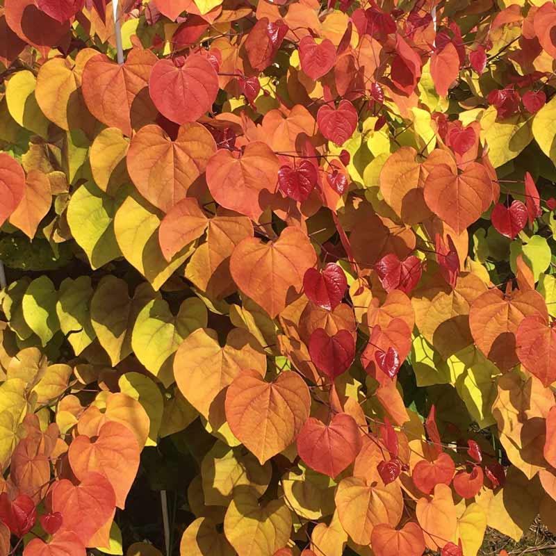 Flame Thrower<sup>™</sup> Redbud Tree