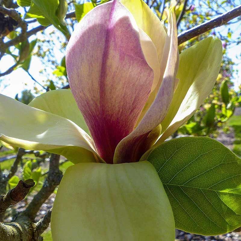 Sunsation Magnolia