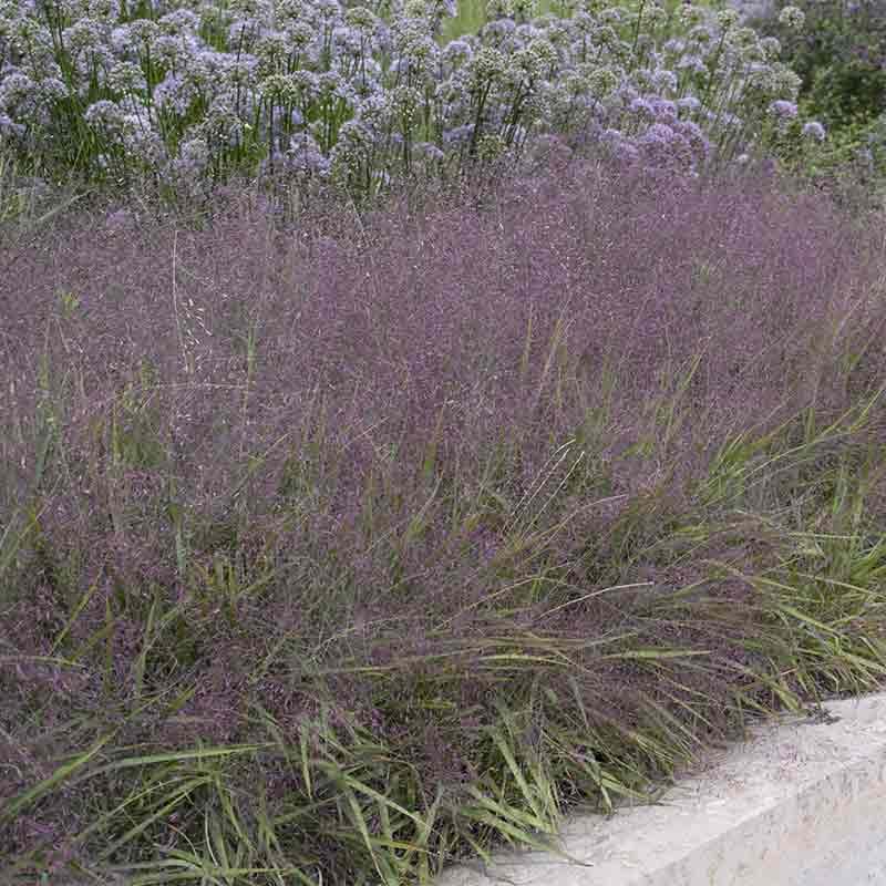 Purple Love Grass