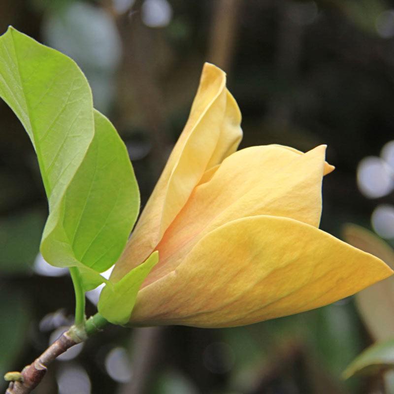 Judy Zuk Magnolia Tree