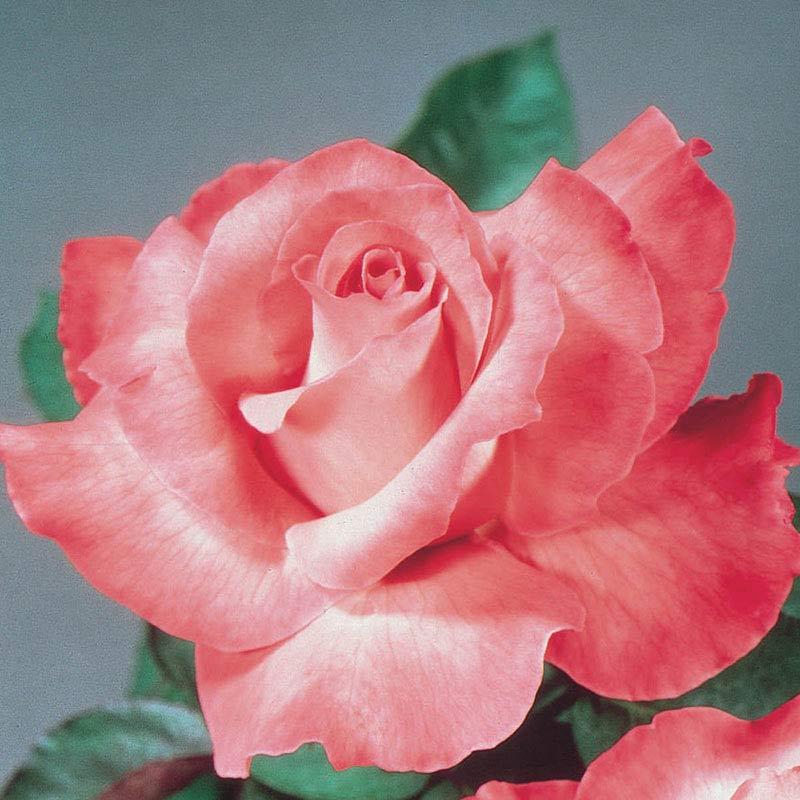 Touch of Class Hybrid Tea Jumbo Rose