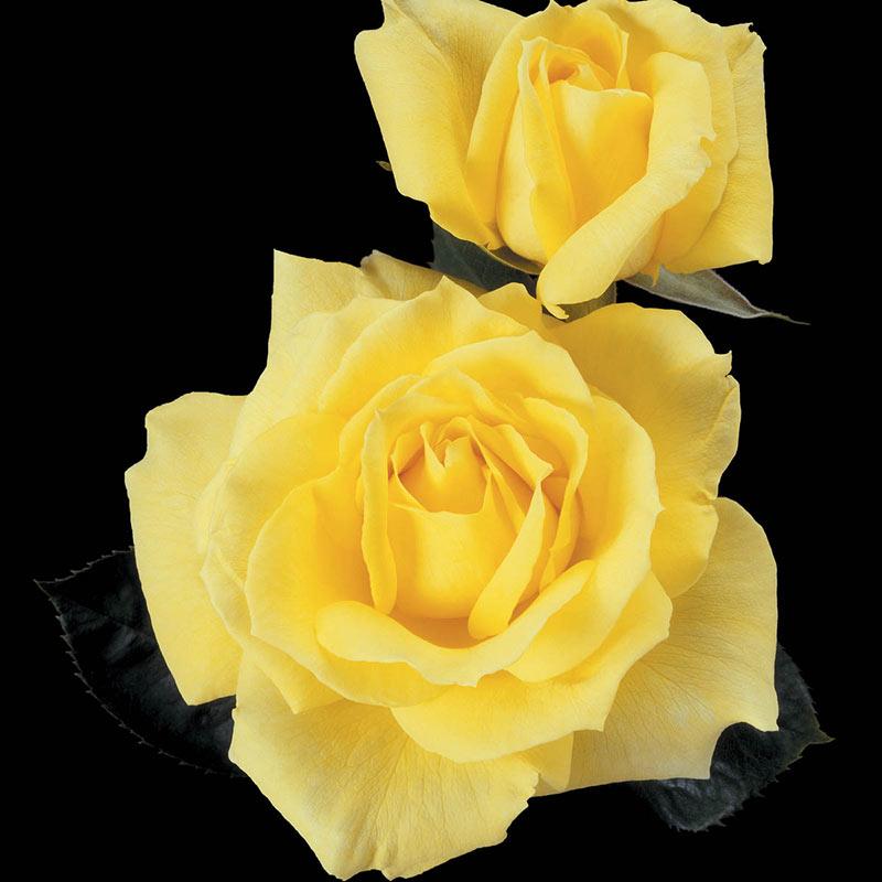 Mellow Yellow Hybrid Tea Jumbo Rose