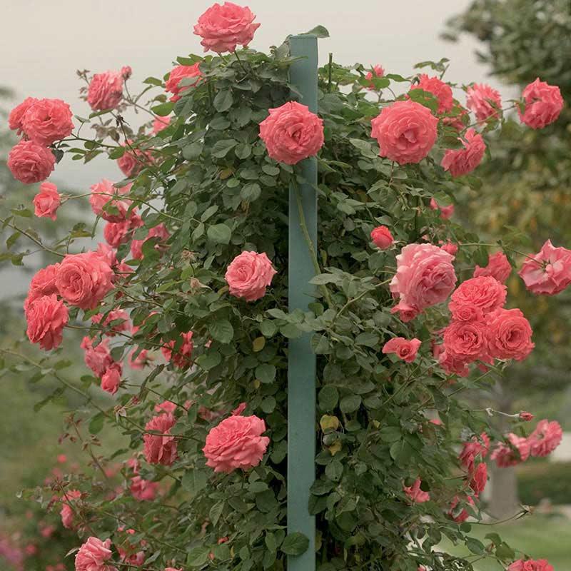America Climbing Rose