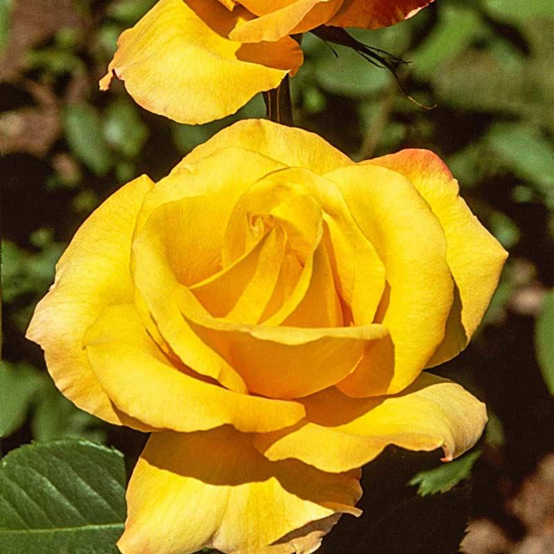 Gold Medal Grandiflora Rose